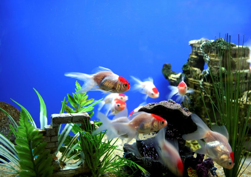 Pesci tropicali per acquari acqua dolce for Arredo acquario acqua dolce