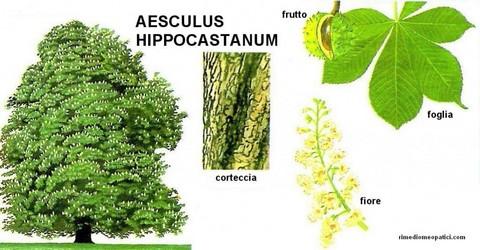 Aesculus hyppocastano