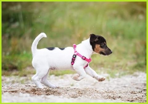 Pettorina cane taglia piccola femmina