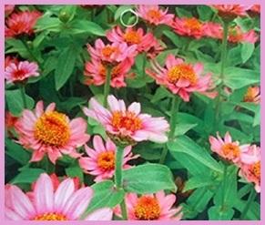Fiori rose perenni originale