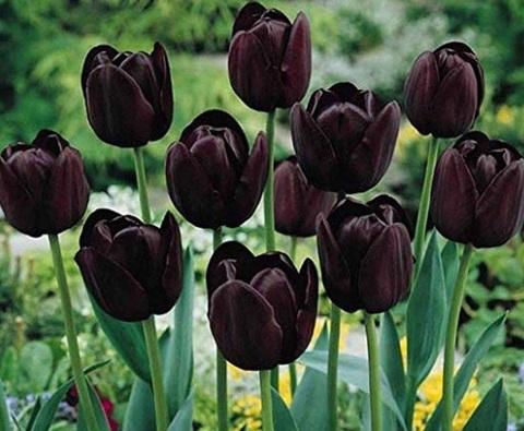 Piante Perenni Da Balcone Tulipani