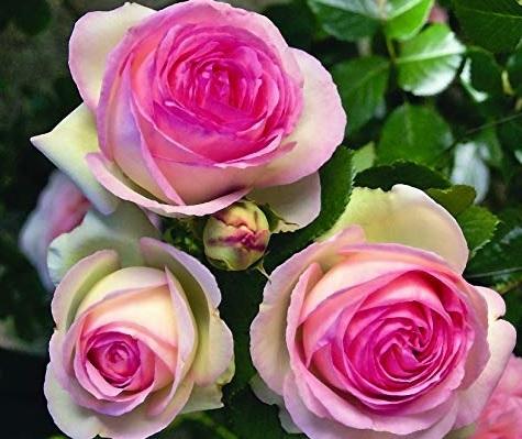 Rose Rampicanti Piante In Vaso
