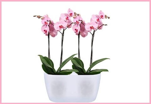 Vaso orchidee doppio